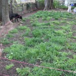 dogs grass