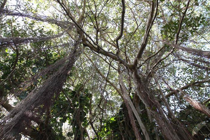 bearded trees