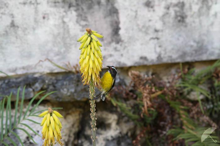 national bird of barbados